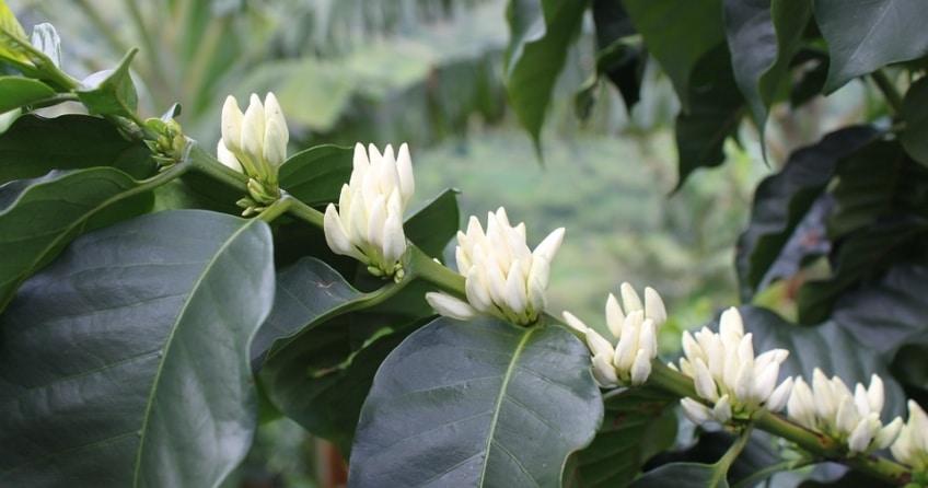 Kaffee Anbau - die Kaffee Blume