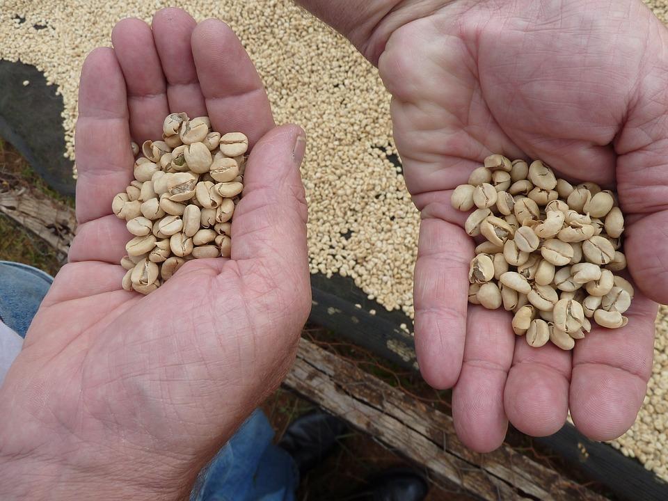 Kaffeeanbau - selbst frische Bohnen ernten