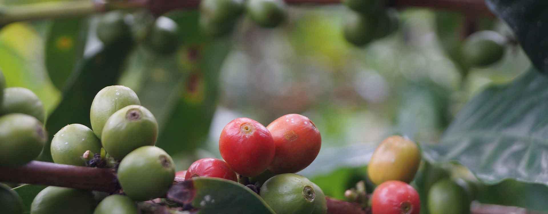 Kaffee-Ernte