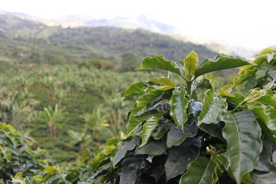 Kaffeeanbau: Plantage in Kolumbien