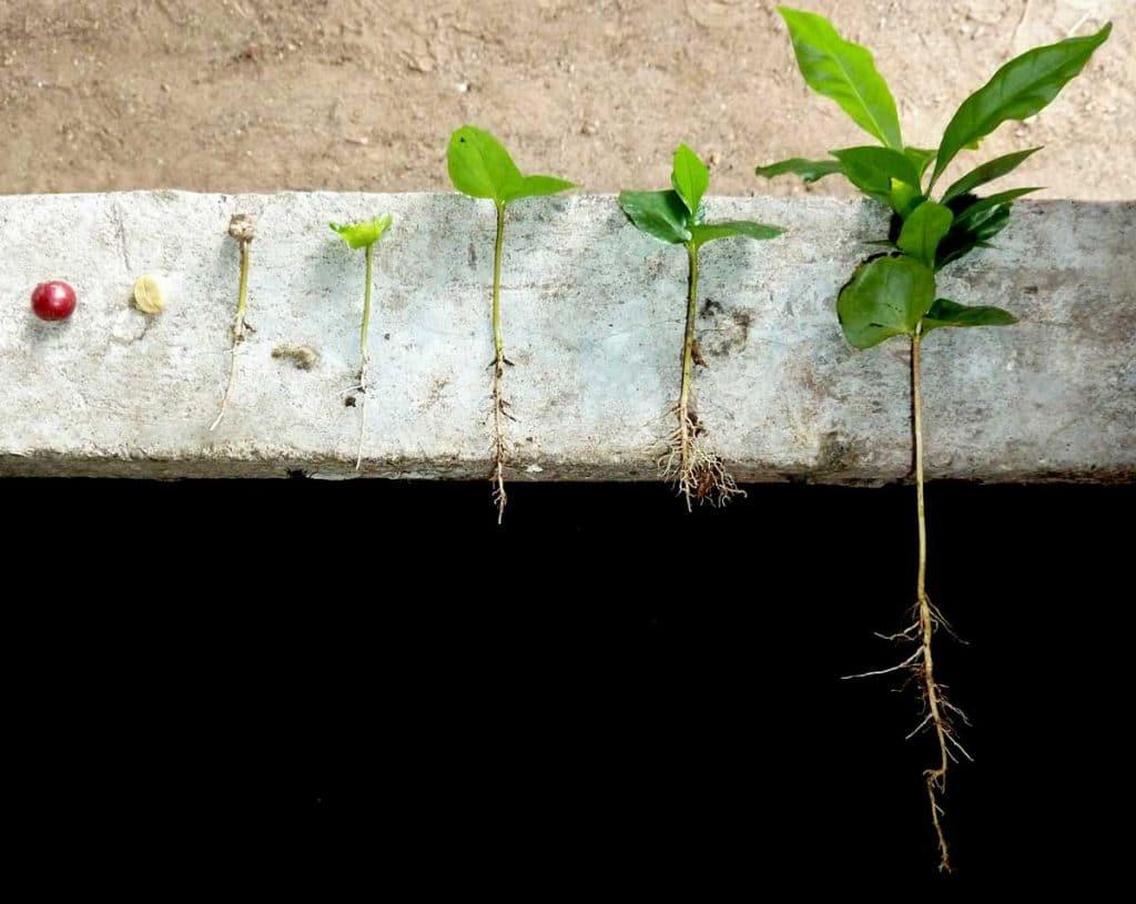 Kaffeeanbau: von der Frucht zur Pflanze