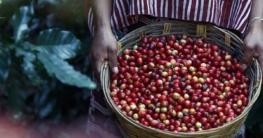 Kaffeeanbau: erntefrische Kaffeebohnen