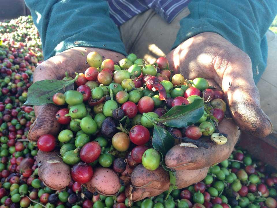Kaffeeanbau: Kaffeebohnen in der Hand eine Bauern