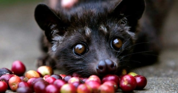Katzenkaffee: Kopi Luwak Kaffee